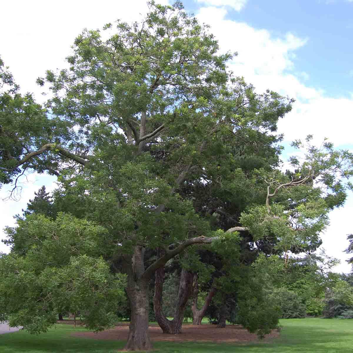 arbre des pagodes