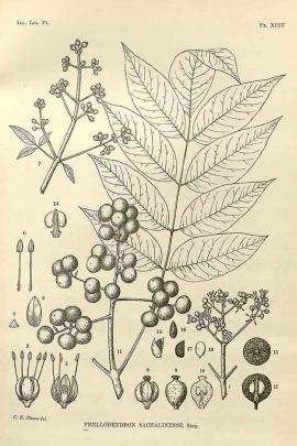 Phellodendron sachalinense (F. Schmidt) Sarg. © Flora of China