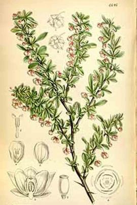 Berberis thunbergii  DC. © Plantillustrations