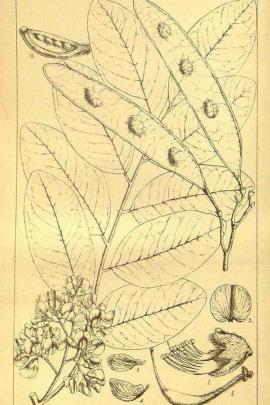 Dalbergia hupeana Hance © Plantillustrations