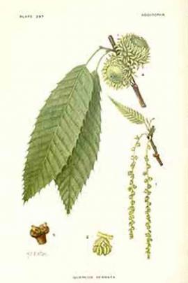 Quercus serrata Murray  © Plantillustrations