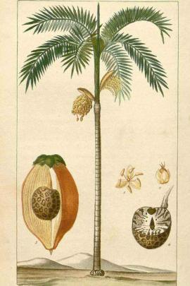 Areca catechu L. © Plantillustrations