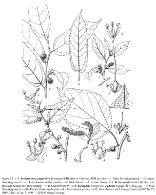 Broussonetia papyrifera (L.) L'Hér. ex Vent.  © Flora of China