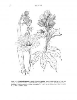 Hibiscus manihot L. var. manihot © Flora of China