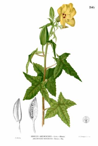 Abelmoschus moschatus Medik.