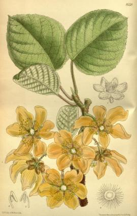Actinidia Chinensis Planch.