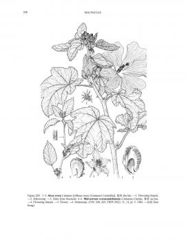 Alcea rosea L. © Flora of China