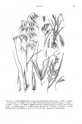 Avena sativa L. © Flora of China