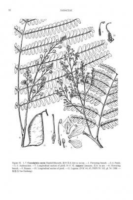 Caesalpinia sappan L.© Flora of China