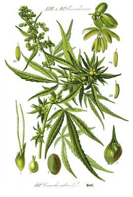 Cannabis sativa L.© O.W.Thomé Flora von Deutschland 1885
