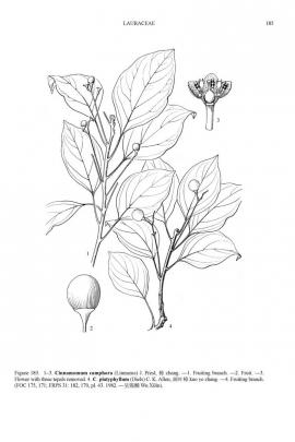 Cinnamomum camphora (L.) J. Presl © Flora of China