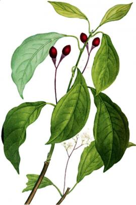 Cinnamomum Loureirii Nees