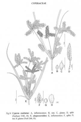 Cyperus exaltatus Retz © Flora of China