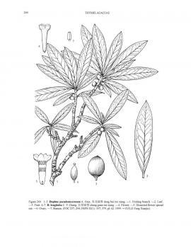 Daphne pseudomezereum A. Gray  © Flora of China