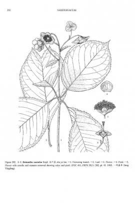 Deinanthe Bifida Maxim. © Flora of China