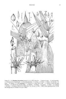 Dendrocalamus affinis Rendle © Flora of China