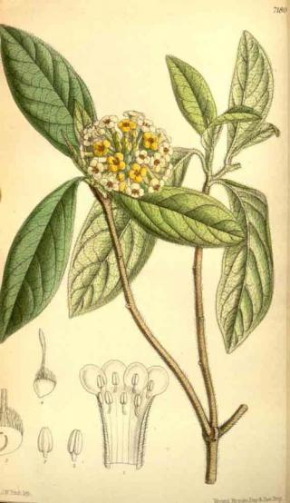 Edgeworthia chrysantha Lindl.