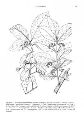 Euonymus sieboldianus Blume © Flora of China
