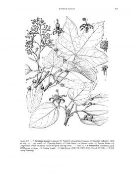 Firmiana simplex (L.) W. Wight © Flora of China