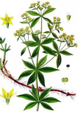Rubia tinctorum L. © Plantillustrations