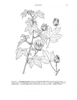 Gossypium arboreum L. © Flora of China