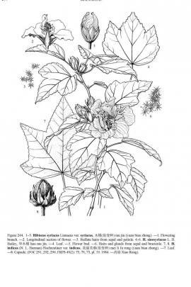 Hibiscus syriacus L.  © Flora of China