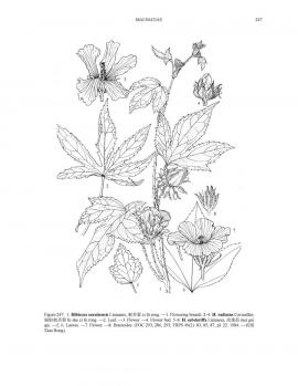 Hibiscus cannabinus L. © Flora of China