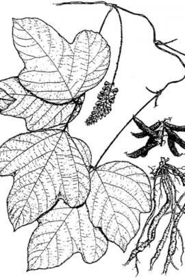 Pueraria montana var. lobata (Willd) Maesen & S.M . Almeida ex Sanjappa & Predeep © Flora of China