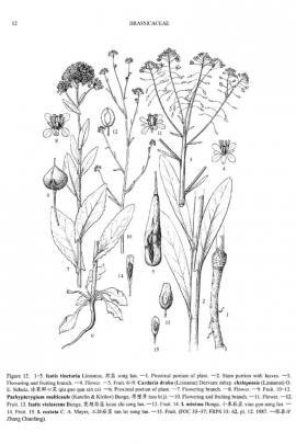 Isatis tinctoria L. © Flora of China