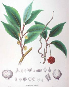 Kadsura japonica (L.) Dunal