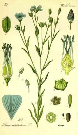 Linum usitatissimum L. © O.W.Thomé Flora von Deutschland 1885