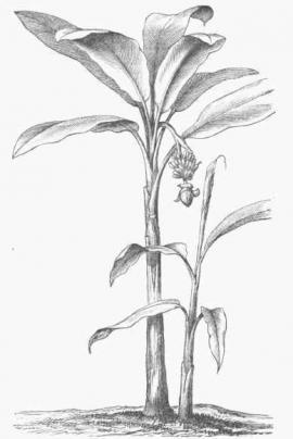 Musa textilis Née