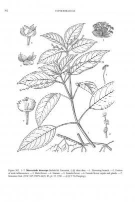 Mercurialis leiocarpa Siebold & Zucc.© Flora of China