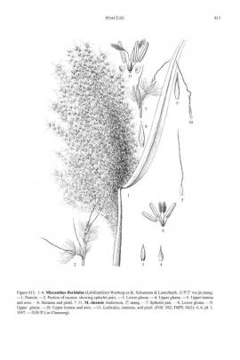 Miscanthus sinensis Anders. © Flora of China
