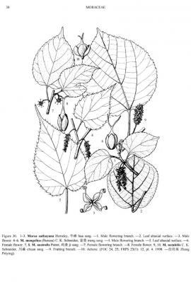 Morus australis Poir. © Flora of China
