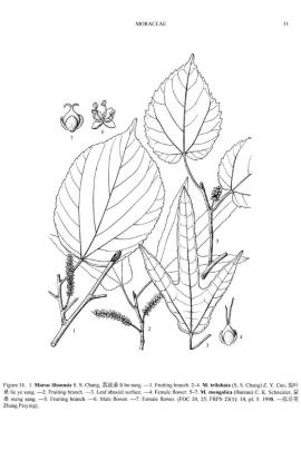 Morus mongolica (Bureau) Schneid. © Flora of China