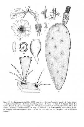 Opuntia dillenii (Ker Gawl.) Haw. © Flora of China