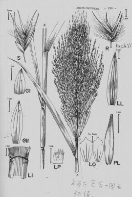 Phragmites communis Trin. © Flora of China