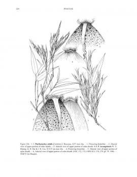 Phyllostachys edulis (Carrière) J. Houz. © Flora of China