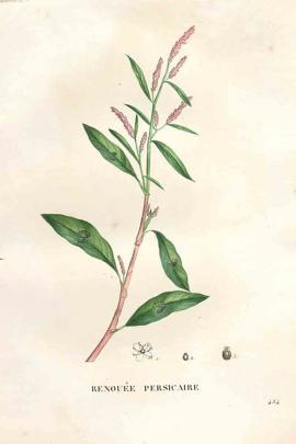 Polygonum tinctorium Aiton © Plantillustrations