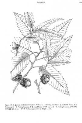 Quercus acutissima © Flora of China