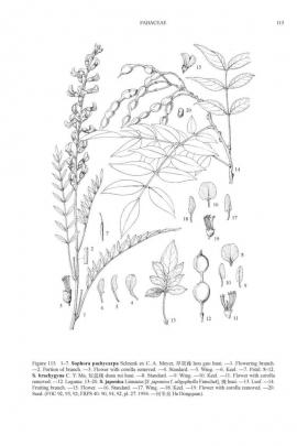 Sophora japonica L.  © Flora of China