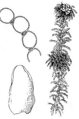 Sphagnum palustre  L. © Flora of China
