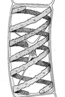 Spyrigira turfosa F. Gray © Biologie-resources