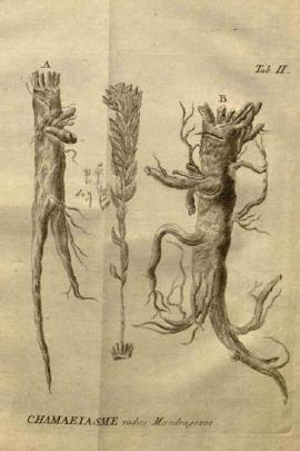 Stellera Chamaejasme L.
