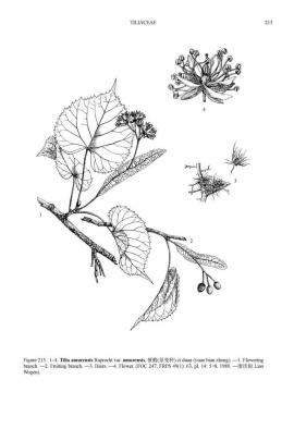 Tilia amurensis Rupr. © Flora of China