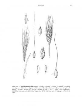 Triticum aestivum L. © Flora of China