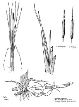 Typha orientalis C. Presl © IFAS University of Florida