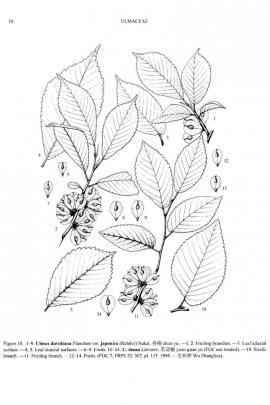 Ulmus davidiana var. japonica (Rehder) Nakai © Flora of China