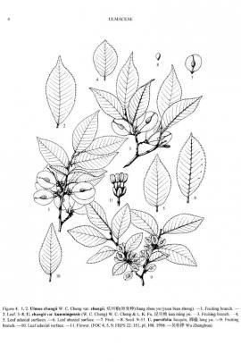 Ulmus parvifolia Jacq.  © Flora of China